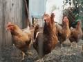 لبنان اليوم - نصف مليون طير مهدّد بالنفوق بسبب الكهرباء في لبنان