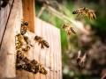 """لبنان اليوم - """"ملك النحل"""" الأفريقي يعيش الآلاف على جسده منذ 30 عاماً"""