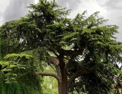 لبنان اليوم - شجرة السمّاق زراعة ريفية تقليدية في لبنان منتجة وغير مكلفة